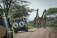 Four Masai giraffe block road to jeeps