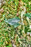 Deciduous forest entwined with ivy