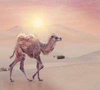 Baby Camel with two humps , Bactrian camel in desert
