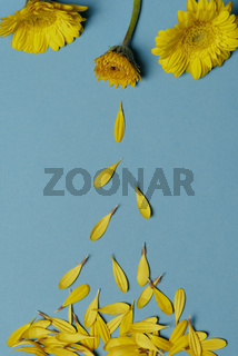 Chrysanthemum yellow flowers and falling petals