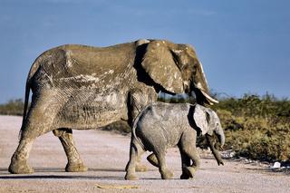 Elefanten, Etosha-Nationalpark, Namibia, (Loxodonta africana)   elephants, Etosha National Park, Namibia, (Loxodonta africana)