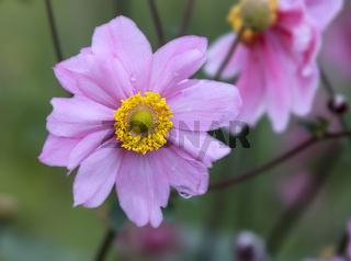 Herbst-Anemone (Anemone hupehensis) mit Regentropfen