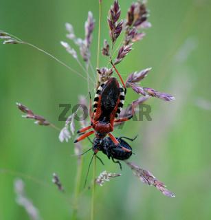 Eine Wanze und ein Käfer auf einer Pflanze