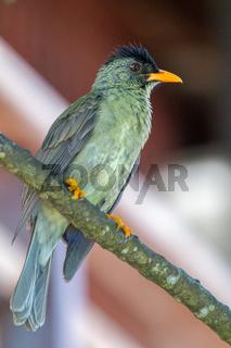 Seychellen-Bülbül (Hypsipetes crassirostris)