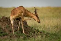 Hartebeest on termite mound scratches its neck