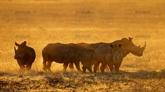 Group of white rhinoceros (Ceratotherium simum) in dust at sunset