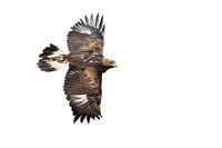 Golden eagle flying with wings spreading wide isolated on white background