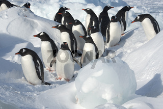 group of Gentoo Penguin standing among the floes on a snowy shore on a sunny winter day
