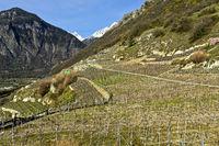 Rebgärten im Vorfrühling, Branson, Wallis, Schweiz