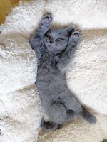 beautiful gray kitten lies on the wrap and looks at the camera.