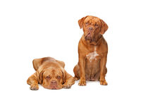 Two French Mastiff dogs