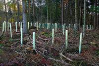 Neupflanzung von Bäumen nach Entfernung von geschädigten Fichten