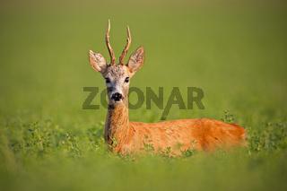 Roe deer, caprelous capreolus, buck in clover with green blurred background.