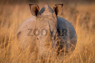 White rhino standing in the high grass.