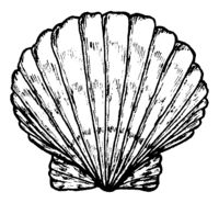 Sea shell. Black and white illustration.