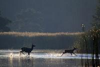 Rottier und Kalb durchqueren einen Teich