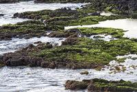 Vulkanische Küste bei Ebbe, Insel Floreana, Galapagos Inseln, Ecuador