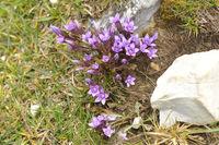 Herbstenzian in den Dolomiten