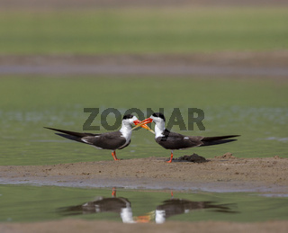 Skimmers courtship, Tern-like birds, Laridae family, Chambal river, Rajasthan, India