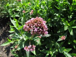 Blühende Rote Spornblume, Centranthus ruber