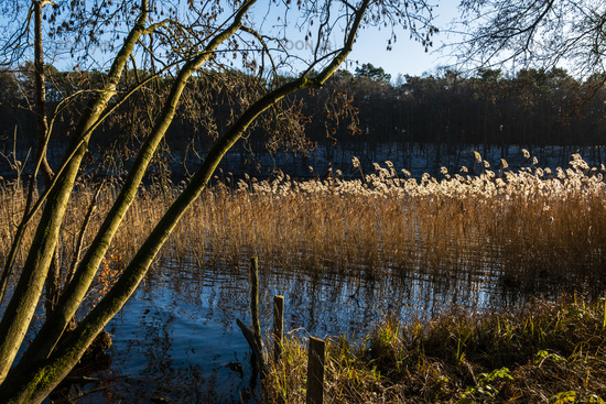 Winter am See mit Schilf, winter at a lake with reed