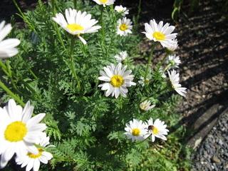 Blühende weiße Wucherblume im Garten