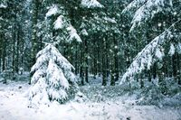 Snowy fir trees and snowfall. Winter background.