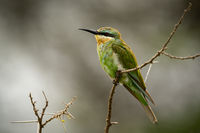Little bee-eater on thorny branch in profile