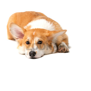 Corgi Fluffy Dog Isolated