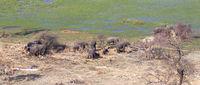 Elephants in the Okavango delta (Botswana)