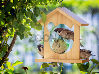 Sparrows at a feeder house