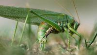 Big green locust