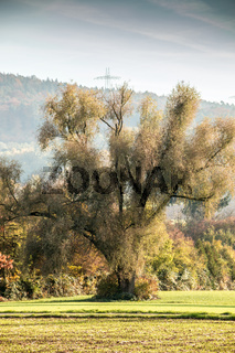 Big tree, colored autumn leaves, green fields and the forest