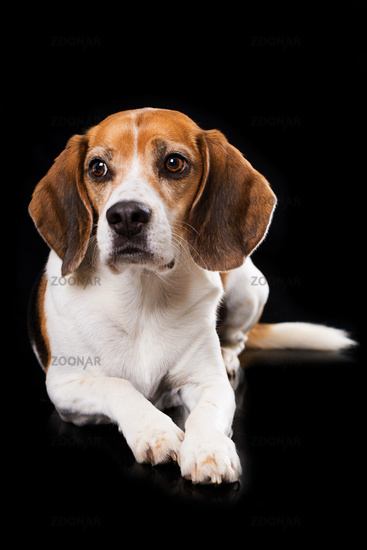 Adult beagle dog lying on black background