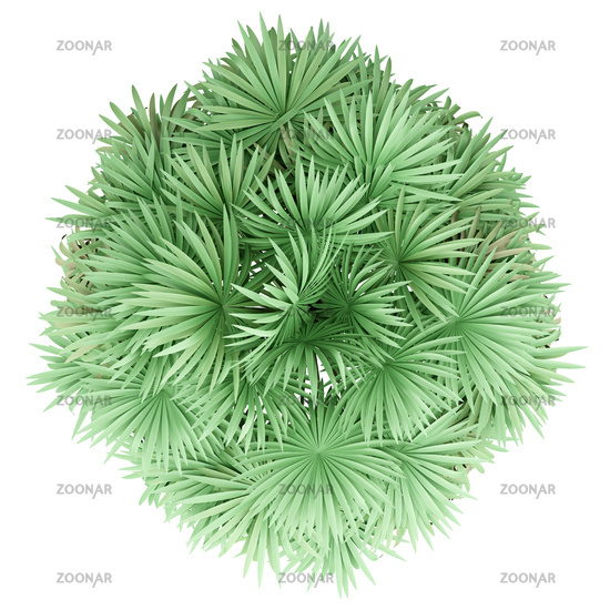 thatch palm tree isolated on white background. top view