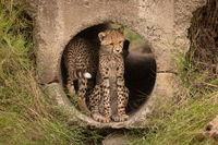 Cheetah cub sitting in pipe with another