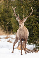 Mature red deer stag with antlers on snow in winter
