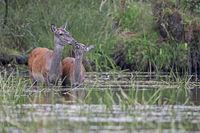 Rottier und Kalb in einem Teich