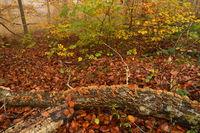 Herbstwald mit Novembernebel mit Pilzen an liegenden Ast