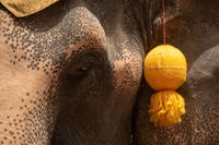 Close-up of elephant head with yellow tassel