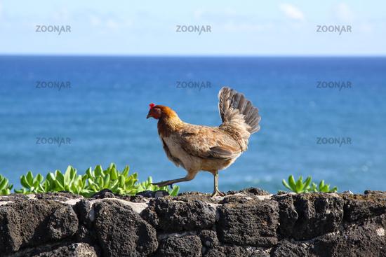Huhn freilaufend