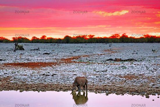 Spitzmaulnashorn am Wasserloch mit Abendhimmel, Etosha-Nationalpark, Namibia, (Diceros bicornis)   Black rhino with evening sky, Etosha National Park, Namibia, (Diceros bicornis)