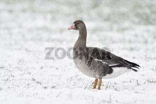 ihr erster Winter... Blässgans *Anser albifrons*, Jungvogel