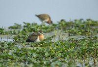 Pheasant tailed Jakana, Hydrophasianus chirurgus, Bharatpur, Rajasthan, India