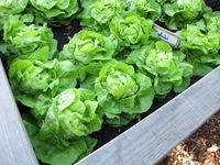 Selbst gezogener grüner Kopfsalat im Hochbeet aus Holz