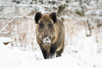 Powerful wild boar standing in snow facing camera and watching in winter.