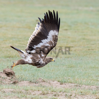 steppe eagle fly closeup