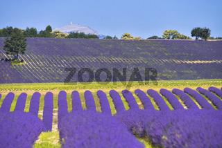 Weite Lavendelfelder auf Hügeln mit Gipfel des Mont Ventoux im Hintergrund