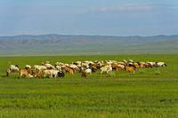 Herde Kaschmirziegen in der Steppe, Mongolei