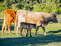 A herd of cows with young calves grazing in the dehesa in Salamanca (Spain). Concept of extensive organic livestock